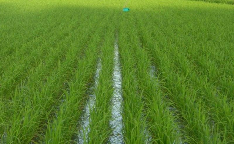 برنج اولین محصول سرسرابازار