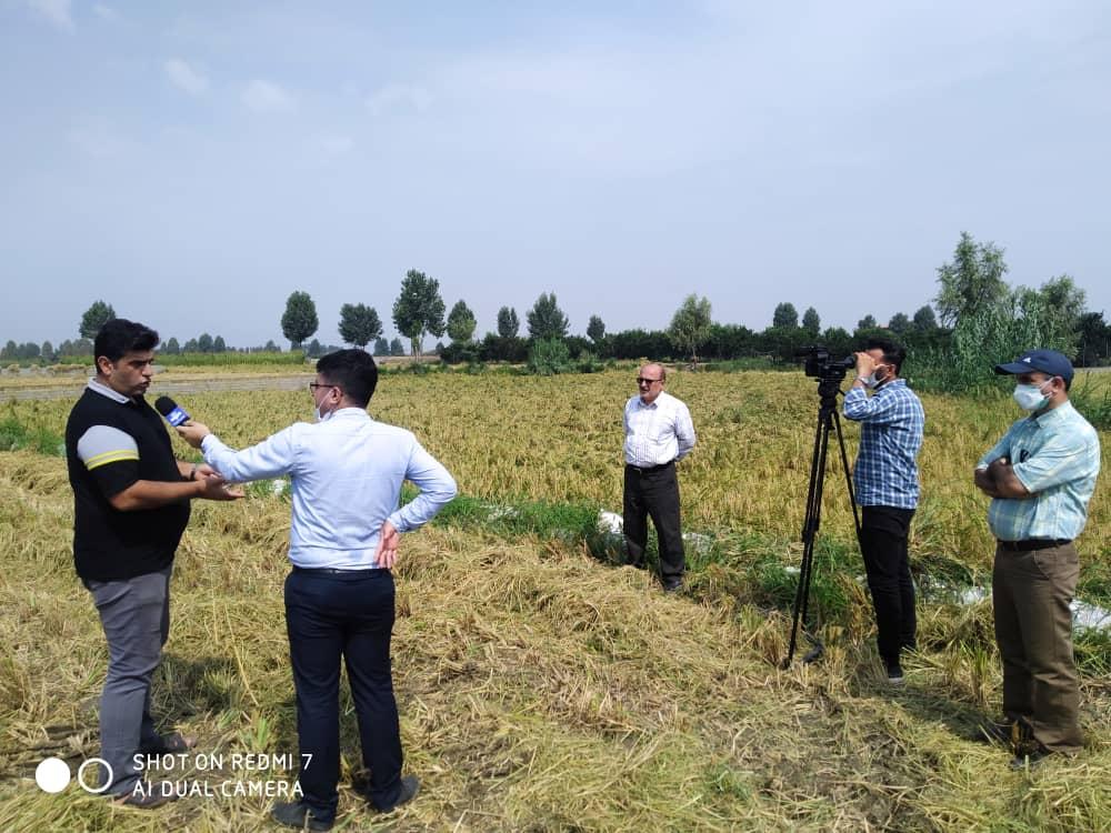همکاری بکوجا و پژوهشگران برنج کشور به بار نشست: افزایش۷۵ درصدی برداشت برنج در بابل