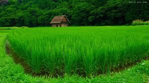 خودکفایی تولید برنج بکوجا-شالیزار