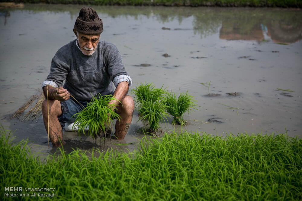 خودکفایی تولید برنج بکوجا- شالیزار
