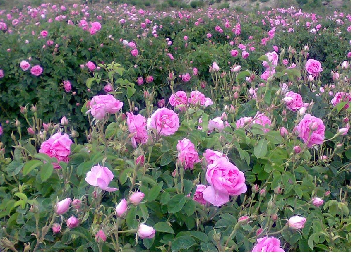 مزرعه گل محمدی